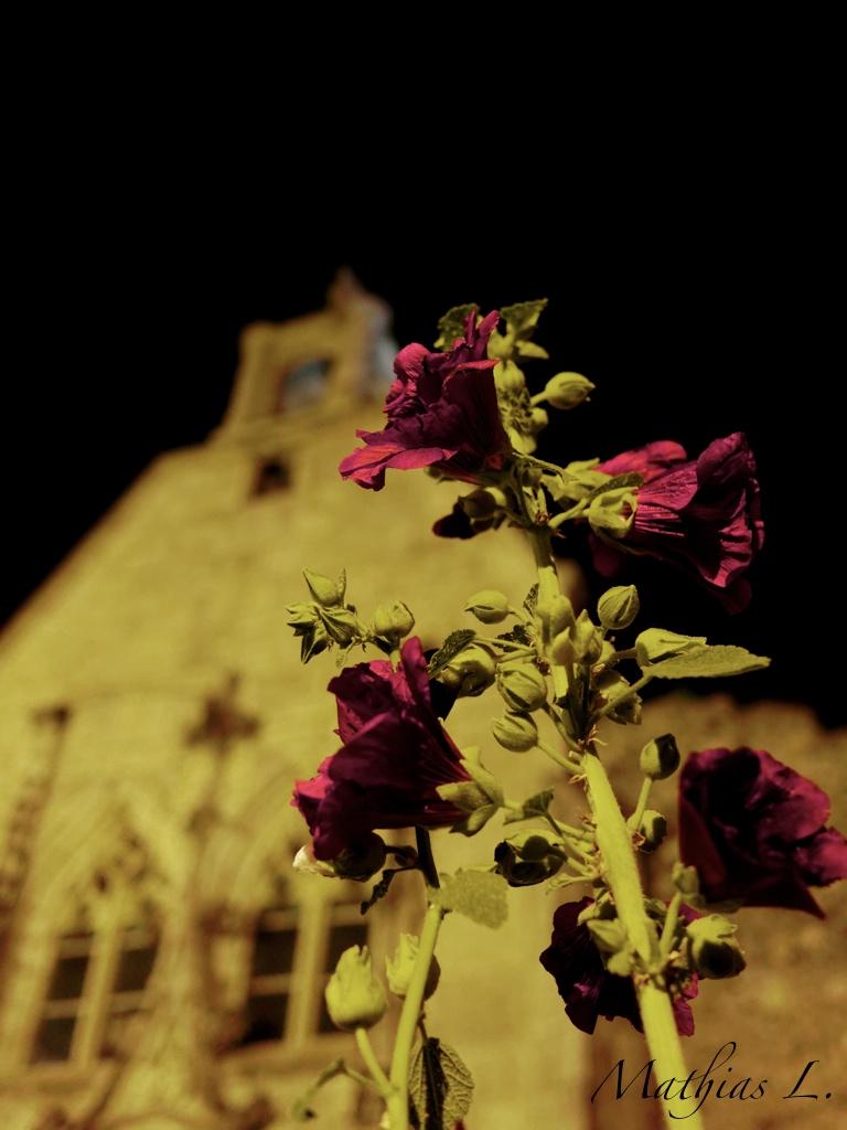 Roses trémières au château de Tallard