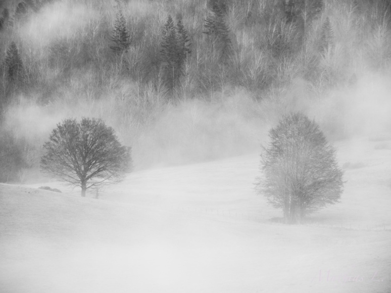 Brume - Arbres solitaires