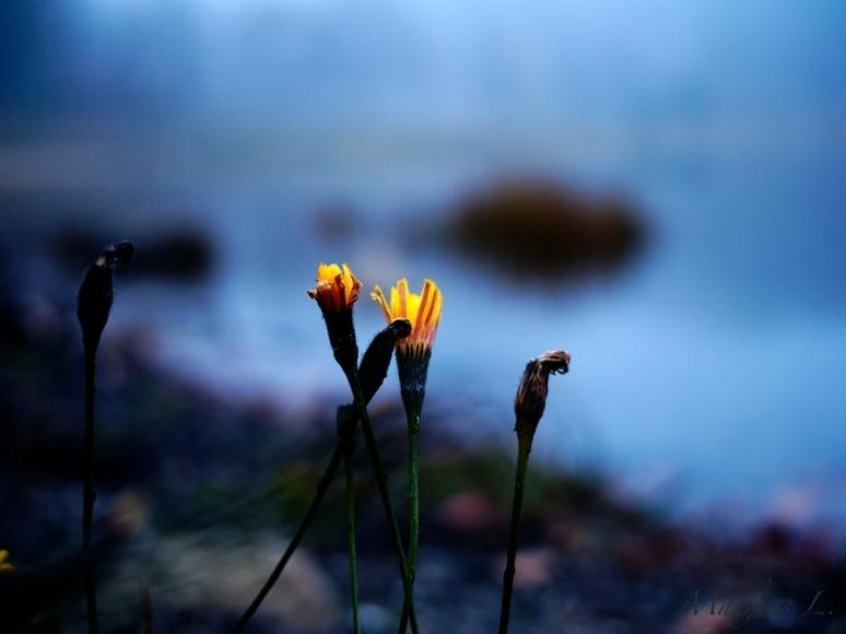 Crépuscule brumeux - fleurs