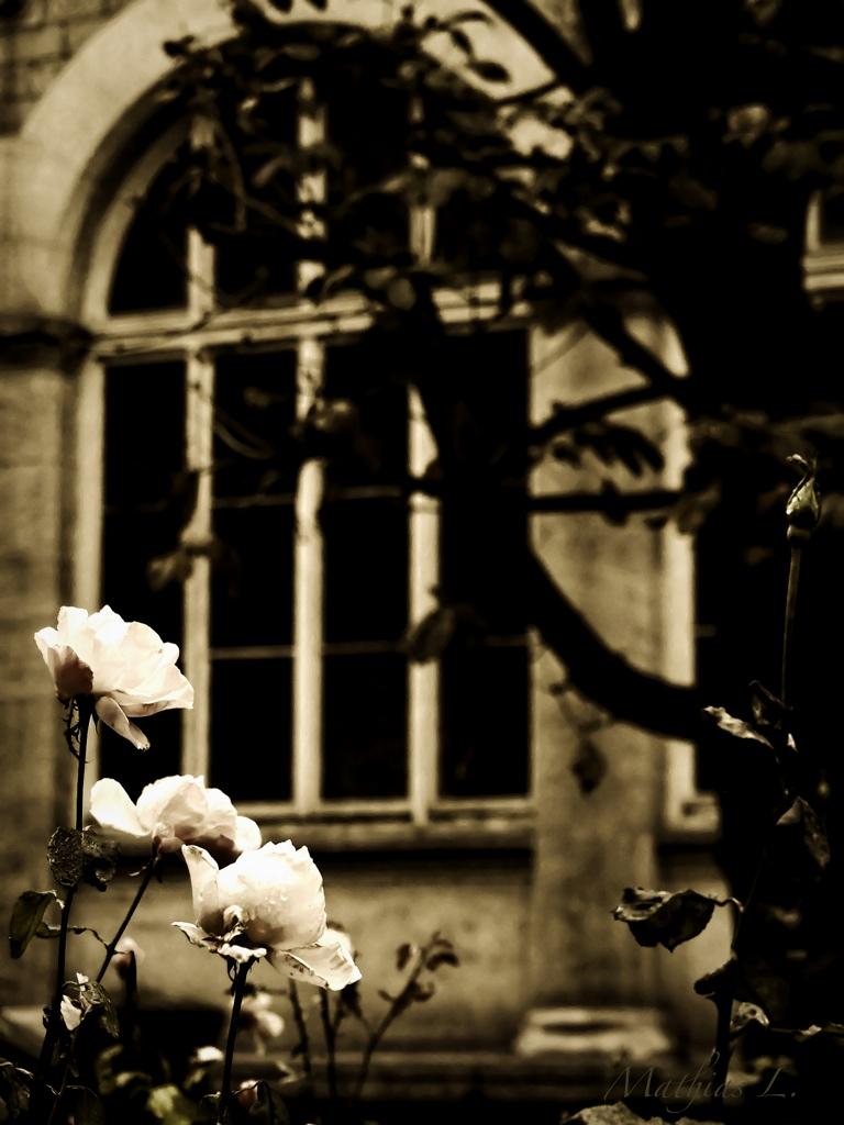 Trois roses