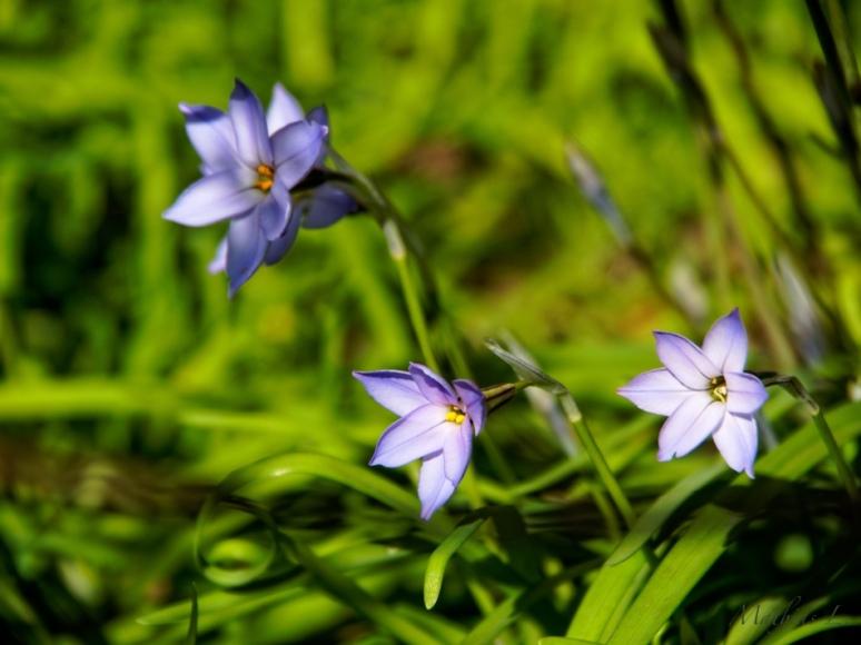 Les premières fleurs du jardin Albert-Kahn