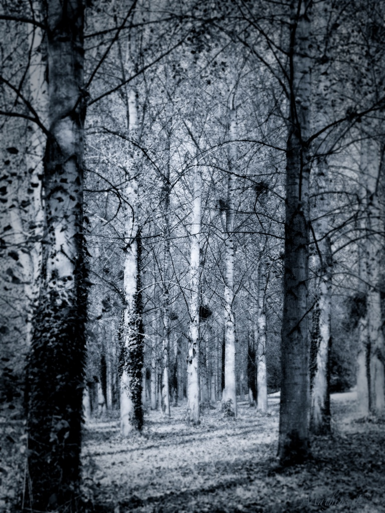 Tous parallèles dans les bois