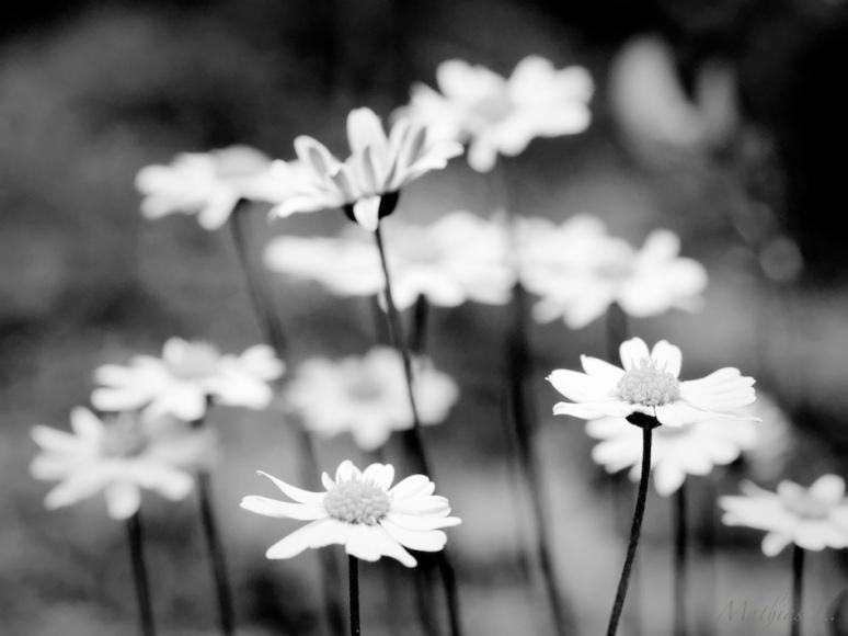 Fleurs N&B (Fontaine des Bandits)