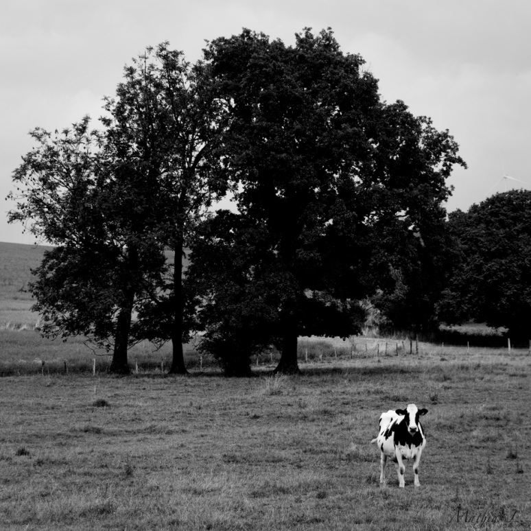 Comme une vache au printemps