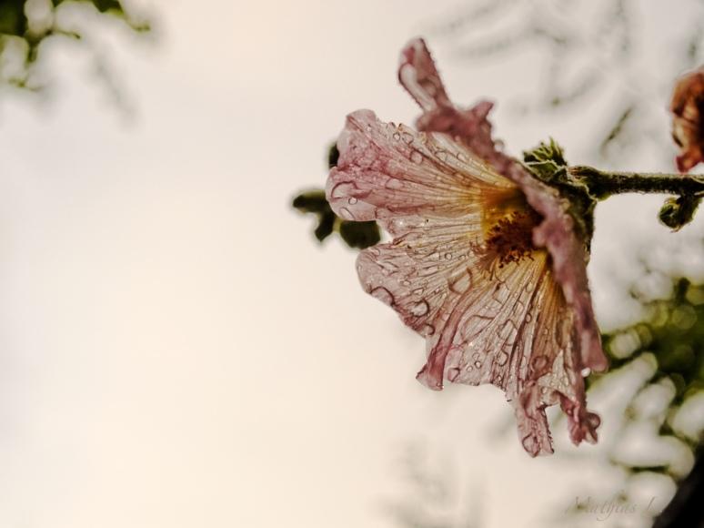 une rose arrosée