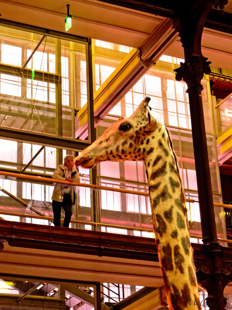 Le bisou de la girafe